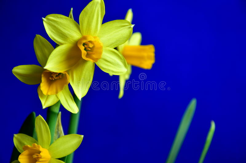 Download Spring yellow daffodils stock image. Image of pistil - 86184321