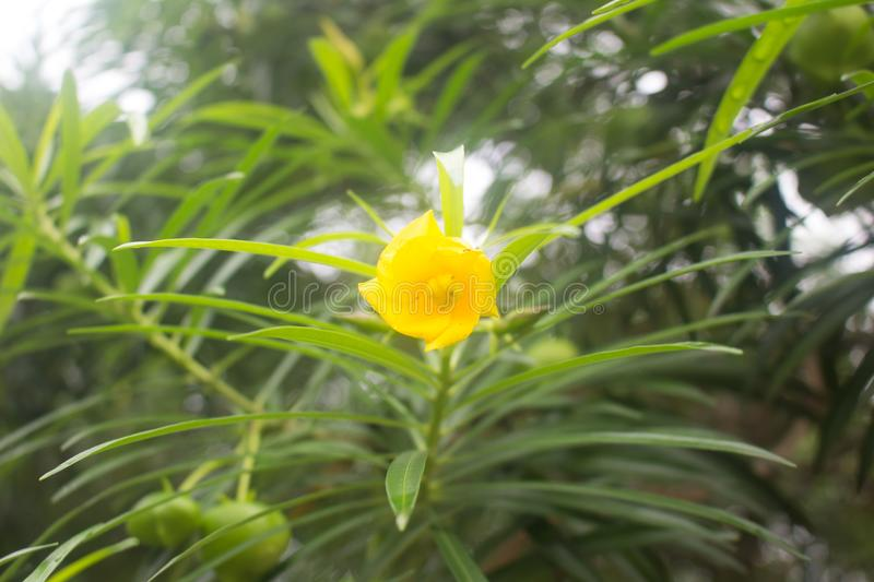 A spring yellow flower background,Thailand royalty free stock photos