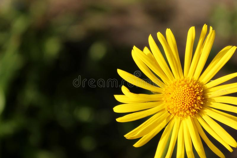 Spring Yellow flower from garden royalty free stock image