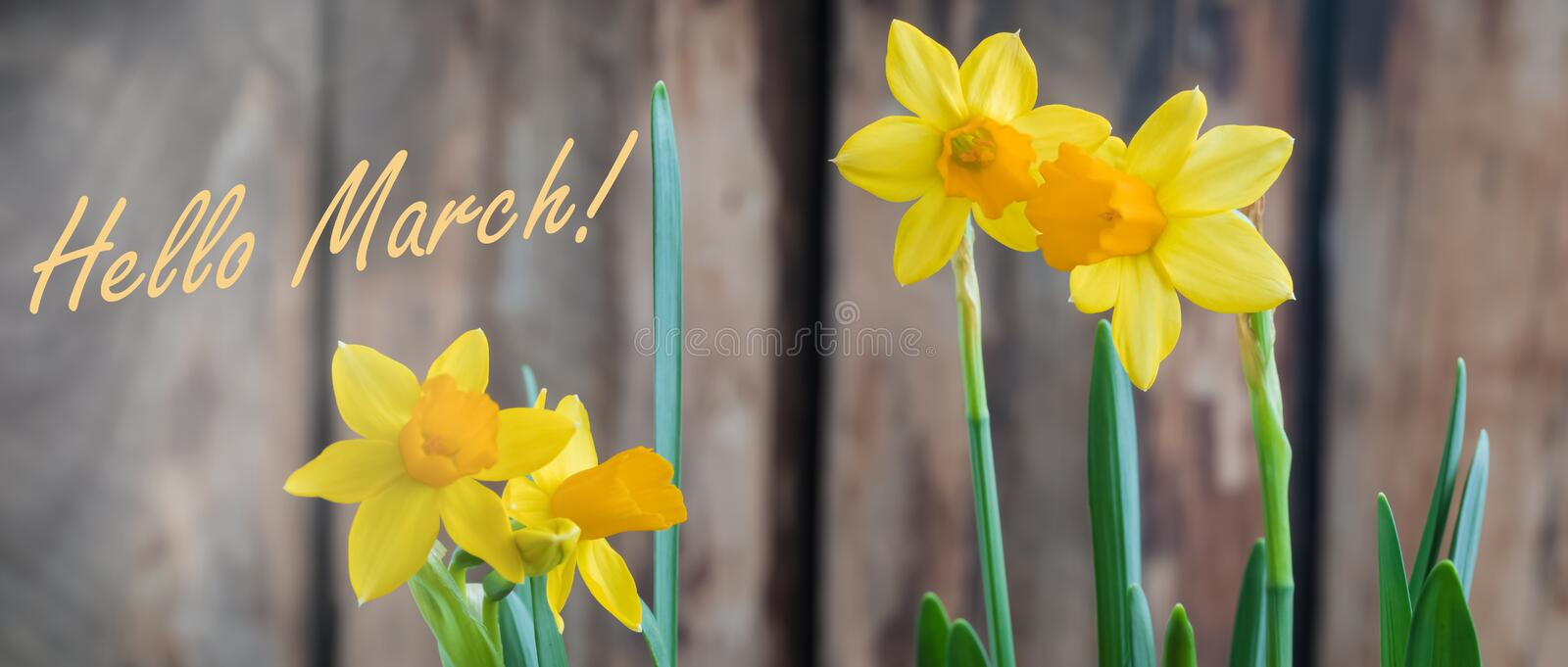 Spring yellow narcissus od daffodil over the wooden background, hello March banner. Spring yellow narcissus over the wooden background with a copy space royalty free stock photos