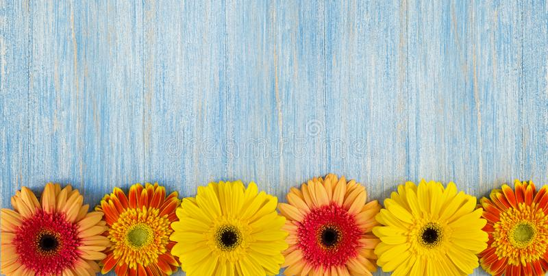 Spring yellow, pink and red gerbera flowers on blue wooden table background. Copy space and wide frame royalty free stock images