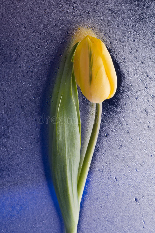 Download Spring  Yellow Tulip  Blossom On Wet Blue Background Stock Image - Image: 33343963