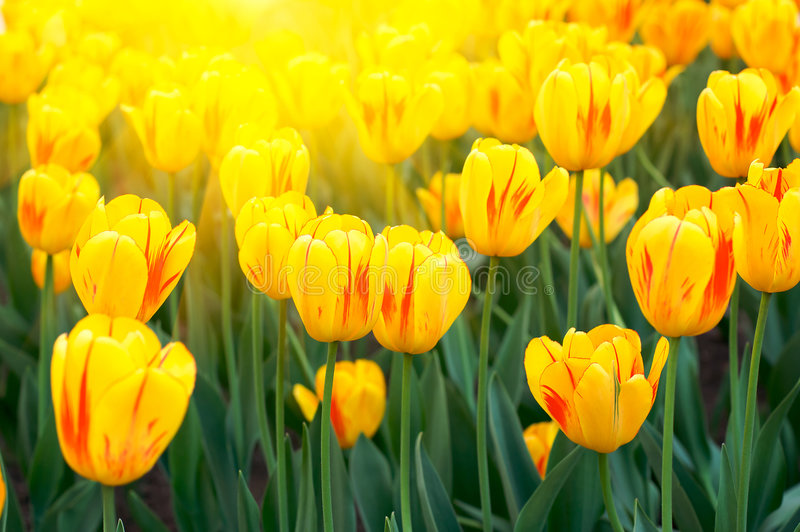Spring yellow tulips stock image