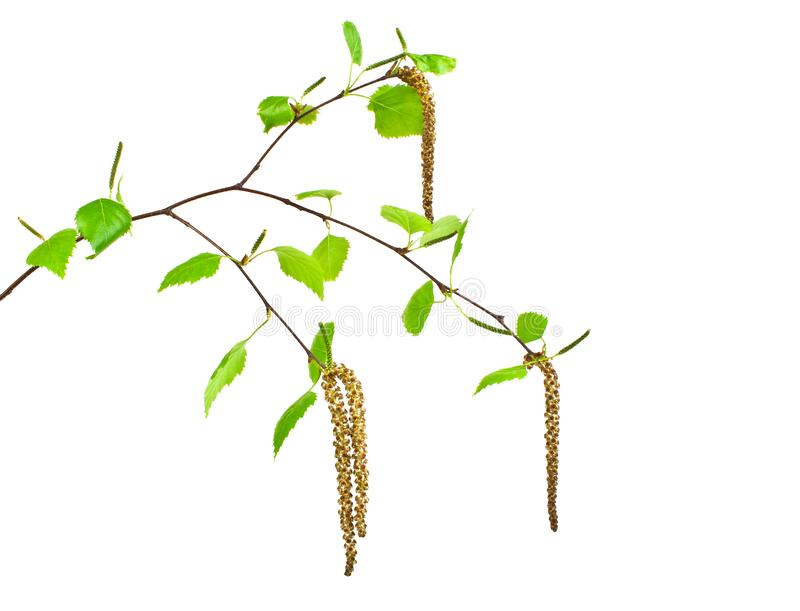 Spring, young birch branch on white background. Spring, young birch branch on a white background stock image