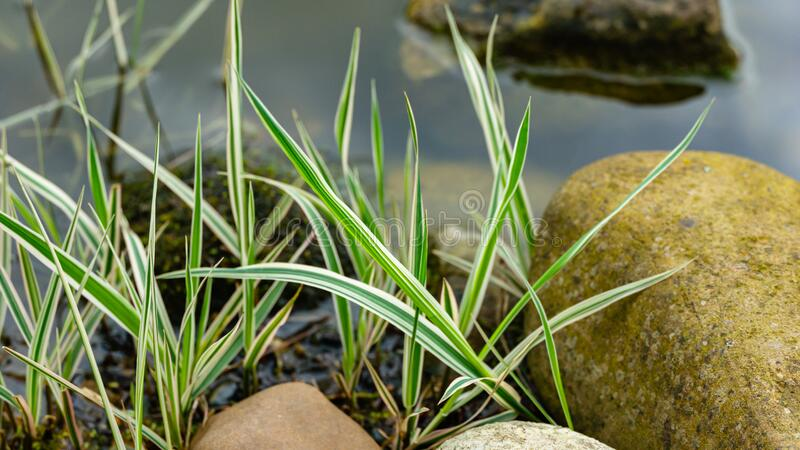 Spring young striped leaves of Phalaris arundinacea or reed canary grass on blurred stones by pond shore. Spring landscape royalty free stock photography