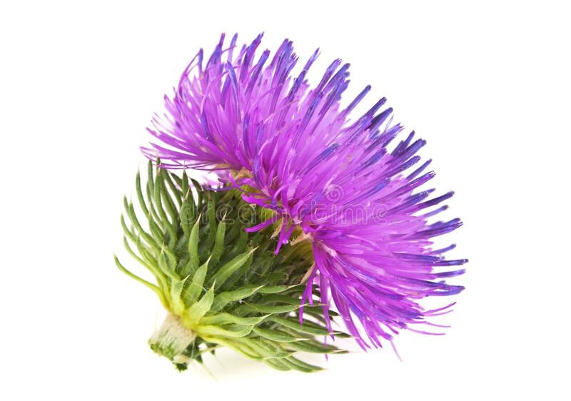 Spring young thistle flower head on white background. Spring young thistle flower head on a white background royalty free stock photography