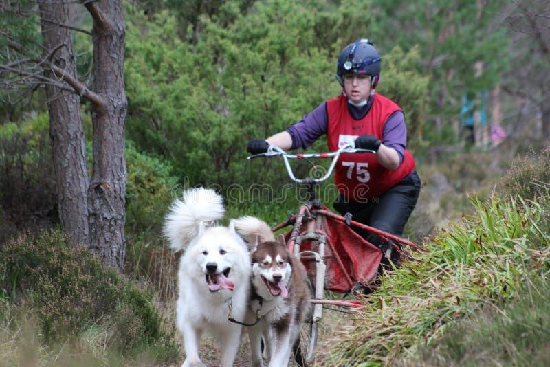 Springa för hundsläde arkivbilder