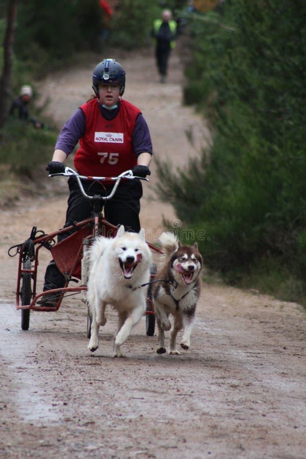 Springa för hundsläde royaltyfria foton