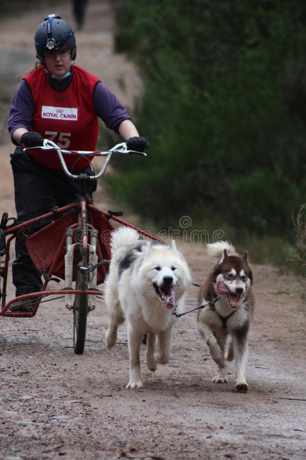 Springa för hundsläde royaltyfri bild