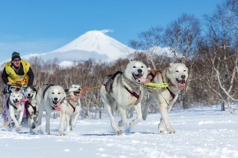 Springa för Kamchatka slädehund Beringiya, rysk kopp av discipliner för hundslädesnö arkivbilder