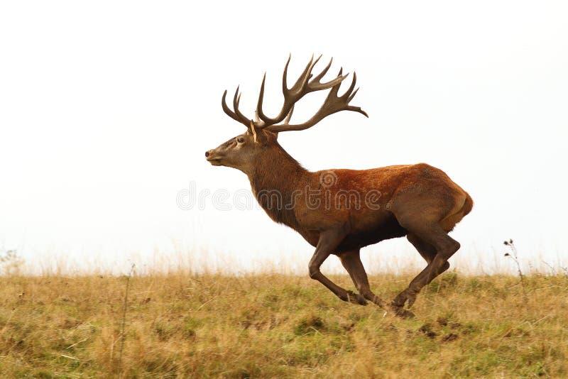 Springa omkring i vilt tillstånd för hjortbock arkivfoton