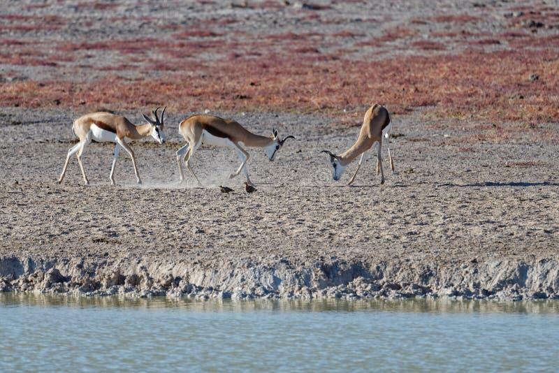 Springböcke, die in Nationalpark Etosha, Namibia, Afrika kämpfen stockfotos