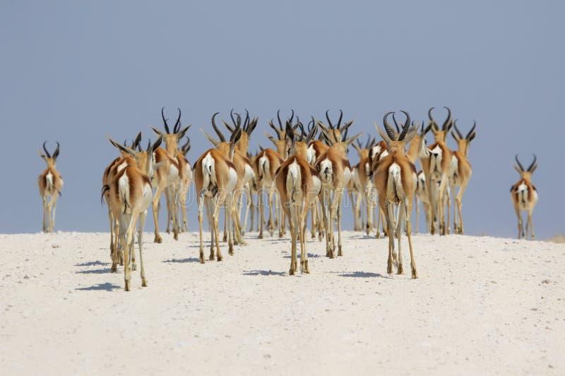 Springböcke an etosha Nationalpark stockbilder