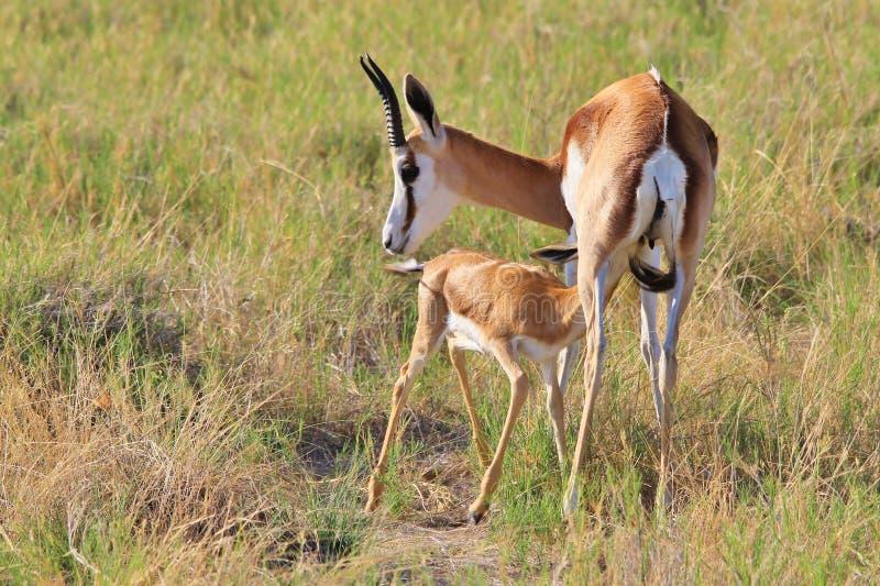 Springbock - afrikanischer Hintergrund der wild lebenden Tiere - Baby-Tiere und ihre Mütter lizenzfreie stockfotografie