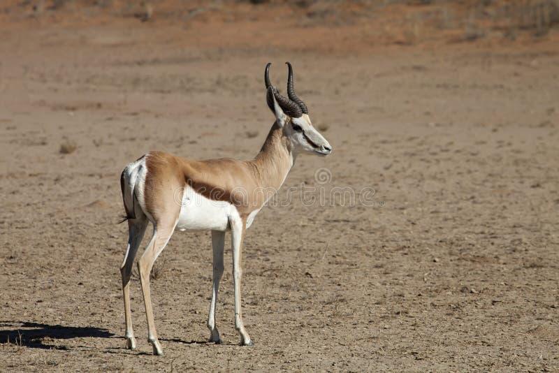 Springbock Antidorcasmarsupialis, Kalahari, Sydafrika arkivfoton