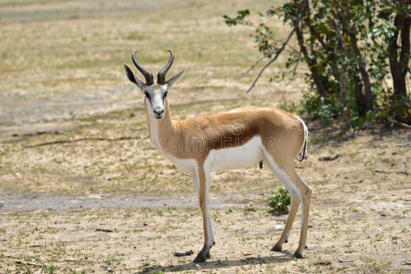Springbock-Antilope in Afrika stockfoto