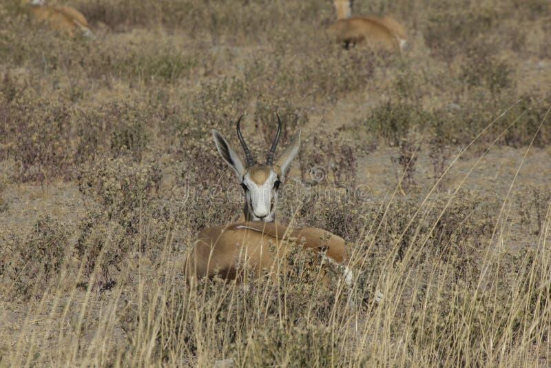 Springbock Namibia royaltyfri bild