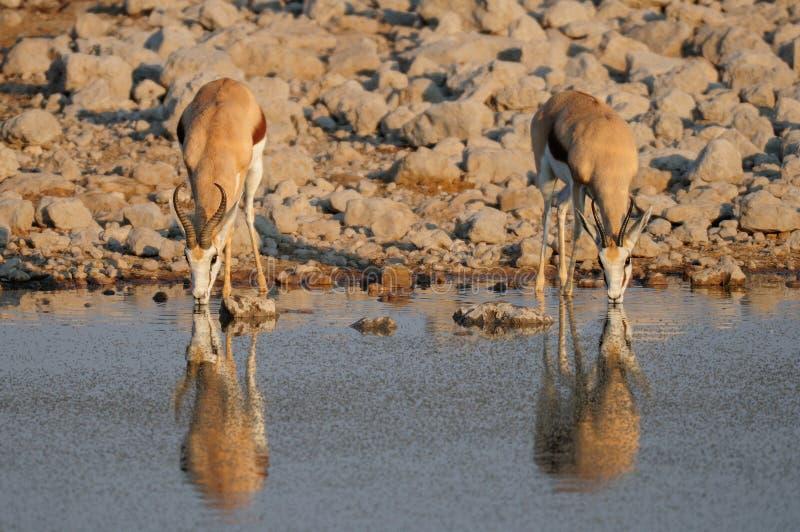 Springbock pair drinking on a waterhole, etosha nationalpark royalty free stock photo