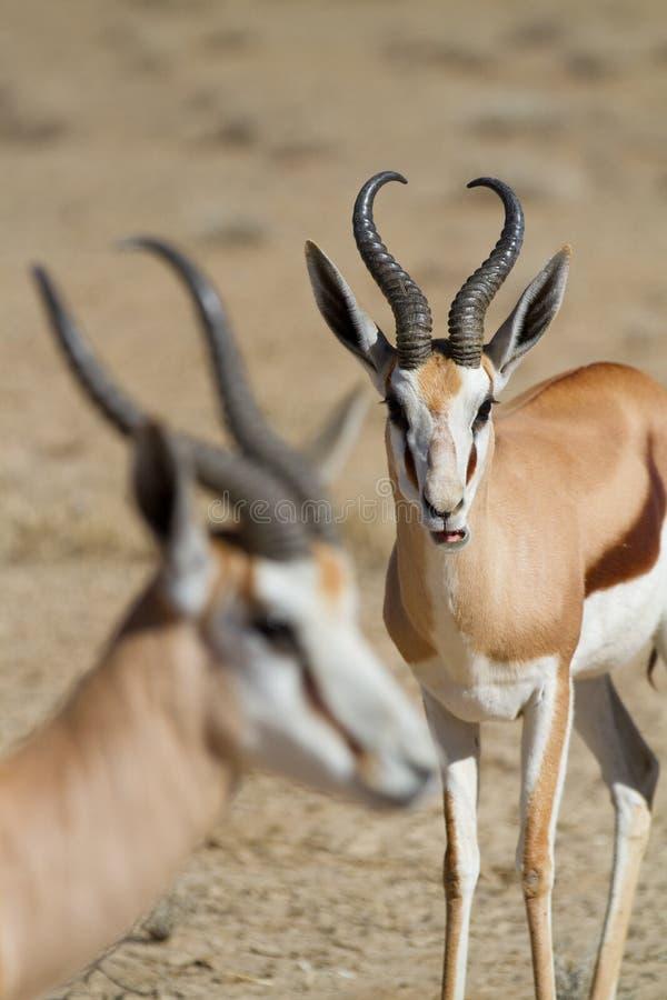 Download Springbock-RAMas stockfoto. Bild von safari, antilope - 26374792