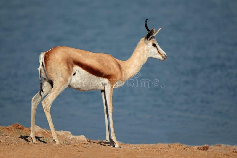 Springbockantilope stockfotografie