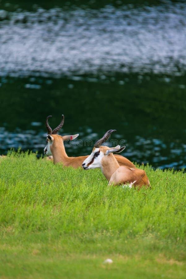 Springbockantilope stockbilder
