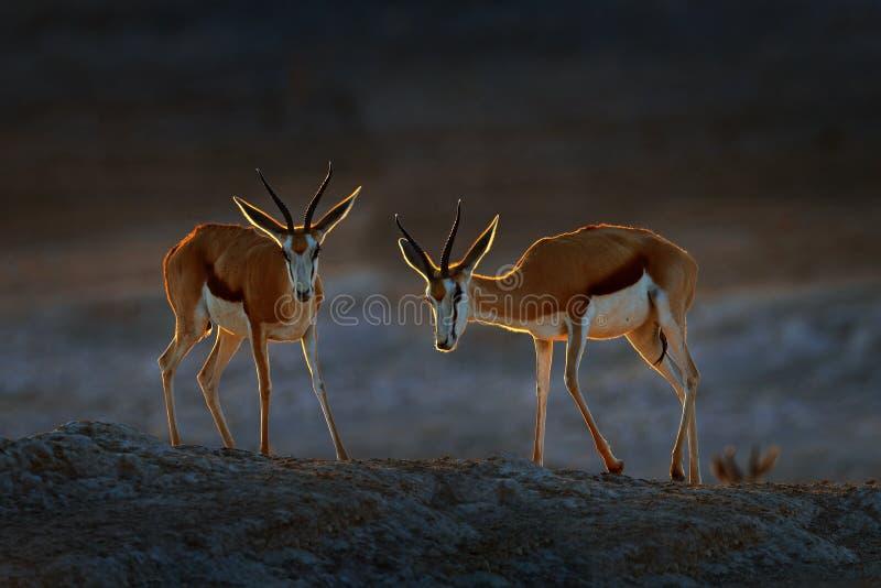 Springbockantilope, Antidorcas Marsupialis, im afrikanischen trockenen Lebensraum, Etocha NP, Namibia S?ugetier von Afrika Spring stockfoto