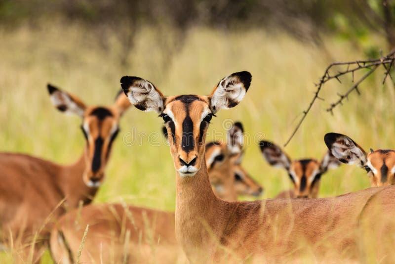 Springbockantilopenblick auf Fotografen stockbilder