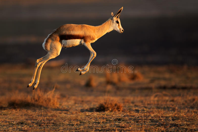 Springbockantilopenspringen stockfoto