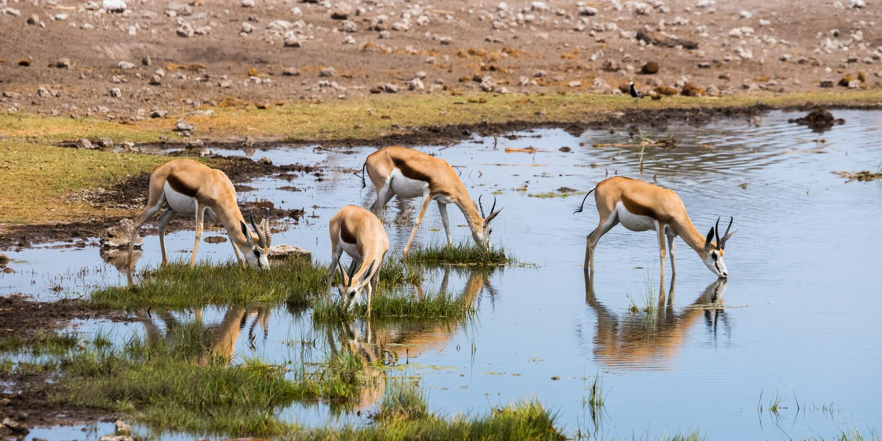 Springbockherde, die am waterhole in Nationalpark Etosha trinkt stockfotografie