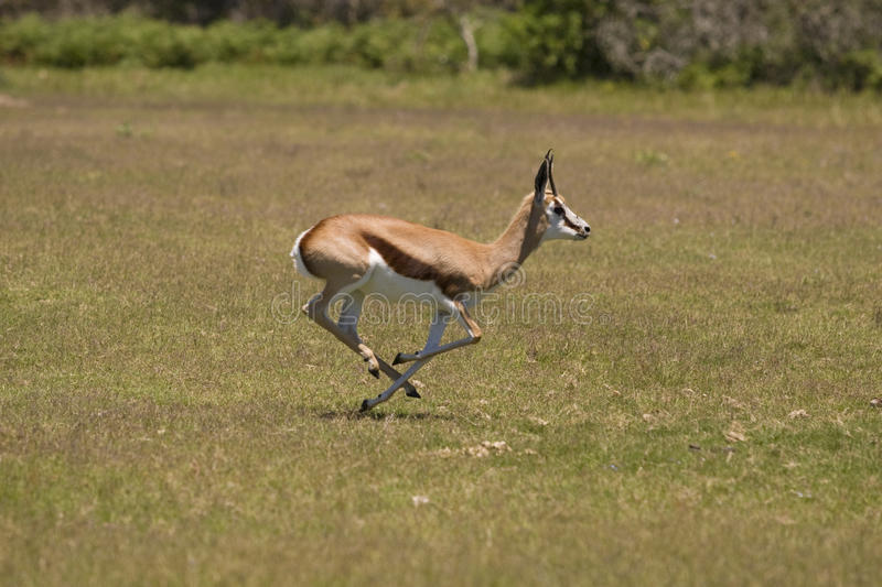 Springbok. Running on a grassland stock images