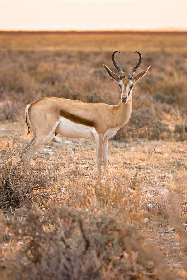 Springbok royalty-vrije stock foto's