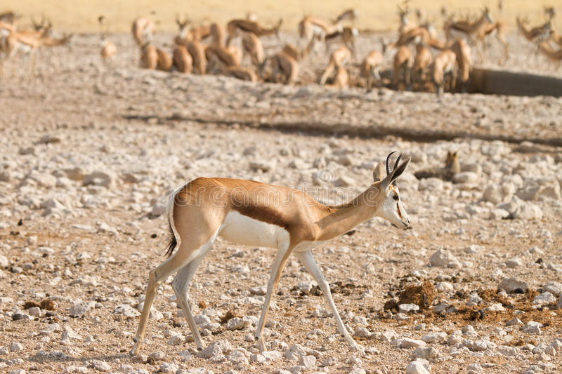 Download Springbok stock image. Image of africa, conservation - 18390299