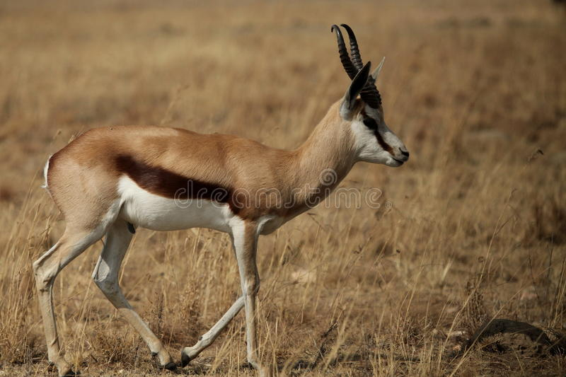 Download Springbok stock image. Image of marsupialis, park, runners - 26091081