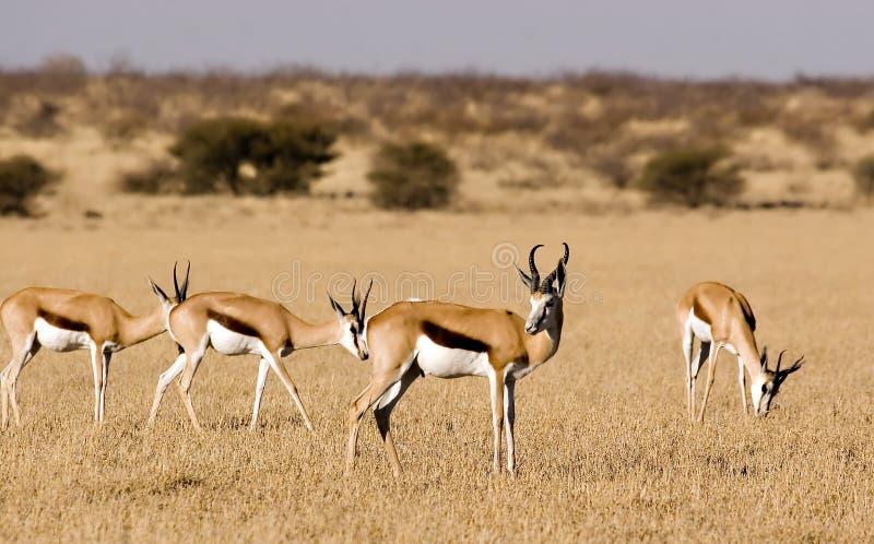 Springbok stock photography