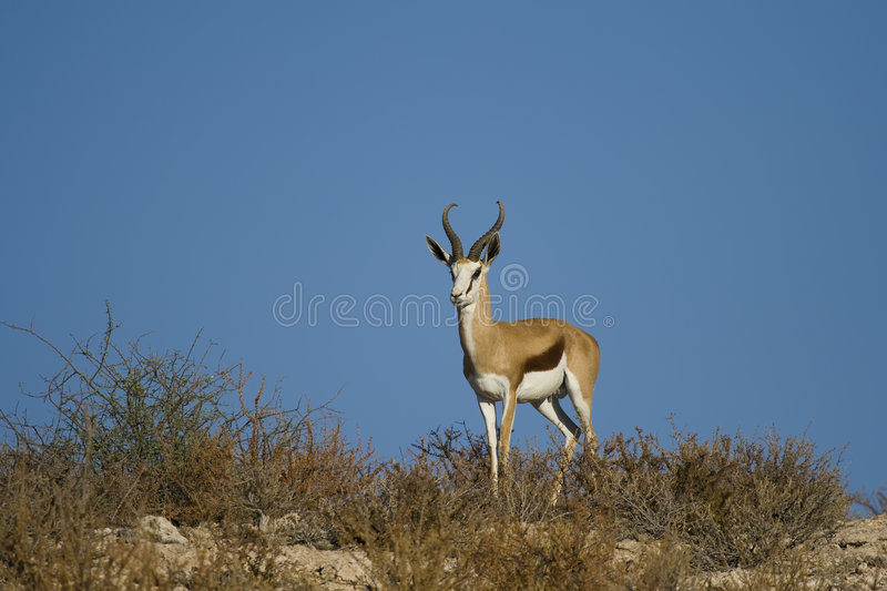 Springbok. Adult male springbok with blue sky background royalty free stock photos