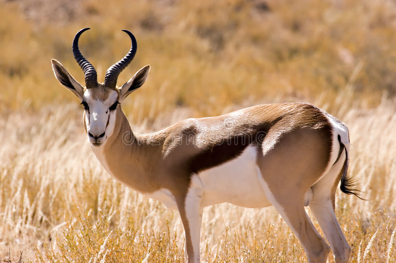 Springbok. In Kgalagadi Transfrontier Park royalty free stock photography