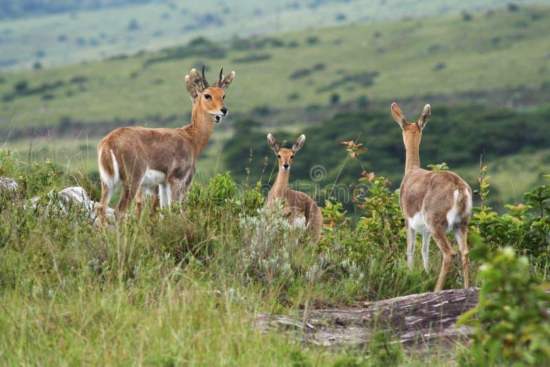 Springbok images libres de droits