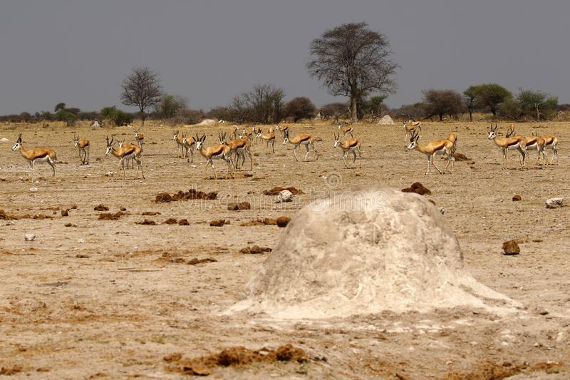 Springbok Plains Game moving together Termite mound in front stock photography