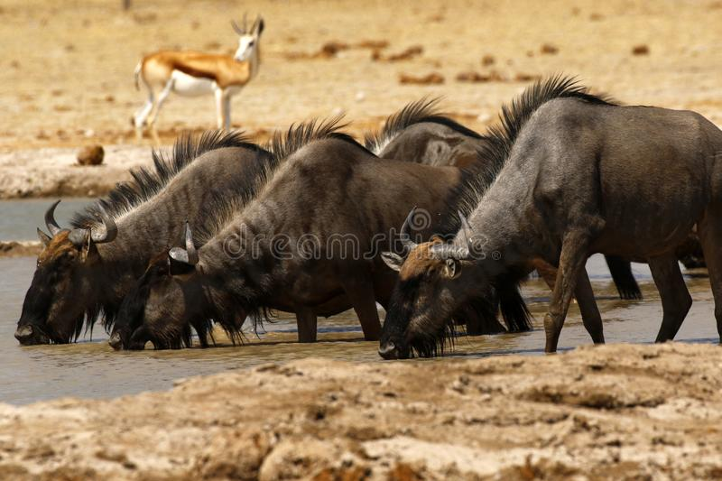 Springbok Plains Game on the African Plains with Wildebeest behind close by. The Springbok antelope are South Africa`s rugby emblem they are also the favourite stock photography