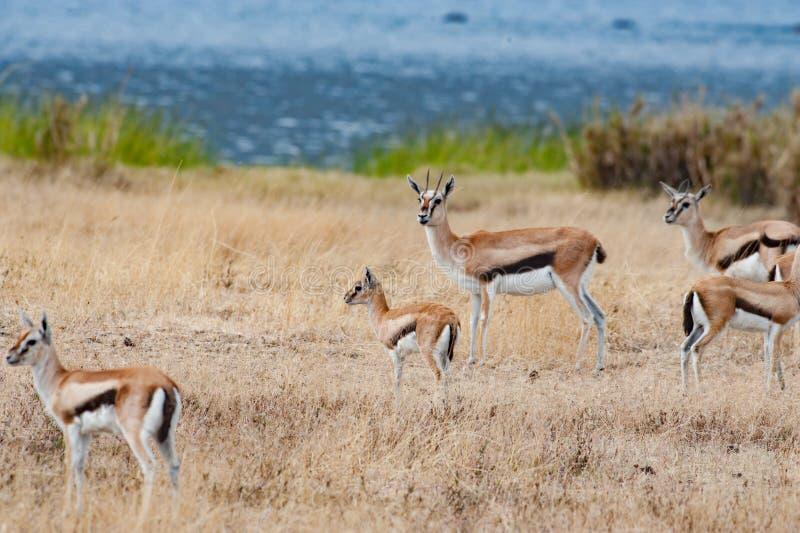 Springbok Antelopes - Antidorcas marsupialis - Springbuck in Africa stock photo