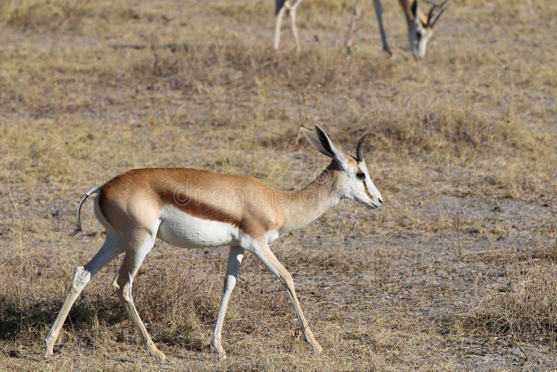 Download Springbok stock image. Image of mammal, kalahari, outdoors - 36198023