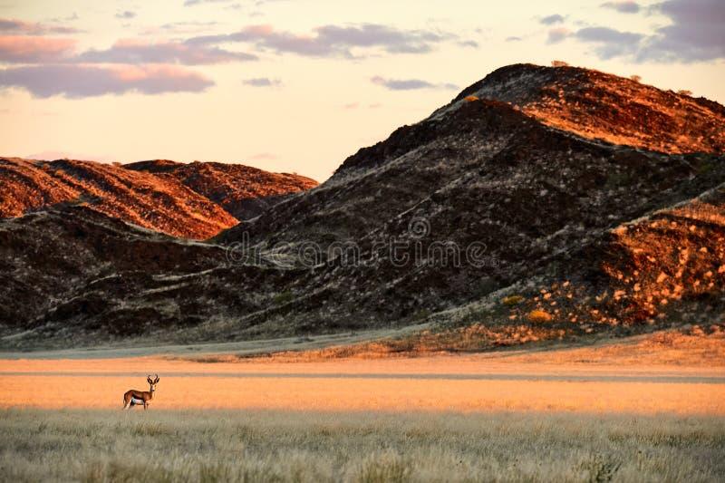 Springbok Antidorcas marsupialis grazing in the savannah. Beautiful springbok antidorcas marsupialis grazes in the Damaraland, Namibia royalty free stock photo