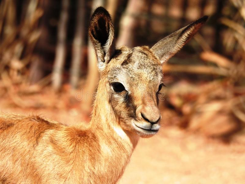 Springbok Baby royalty free stock photos