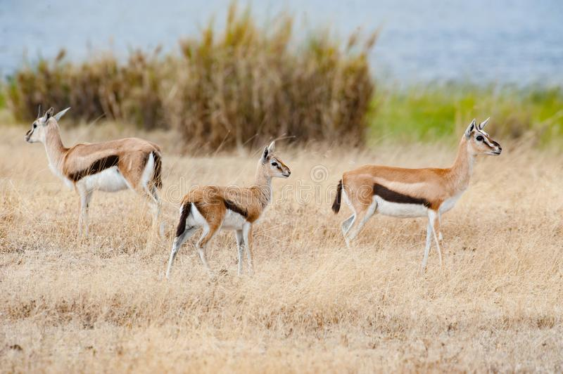 African springbok with cub, Tanzania, Africa stock images