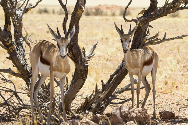 Download Springbok couple stock image. Image of warm, frontal - 22947441