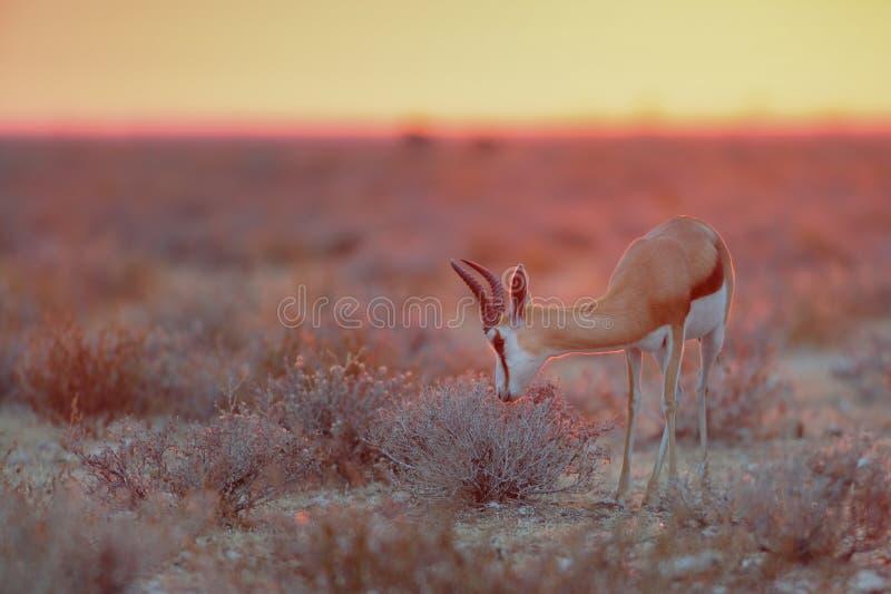 Springbok dans la lumière de matin, nationalpark d'etosha, Namibie photographie stock libre de droits