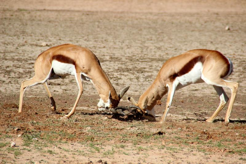 Springbok fighting Africa stock image