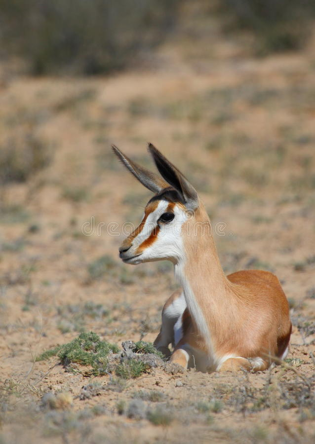 Springbok foal royalty free stock photos