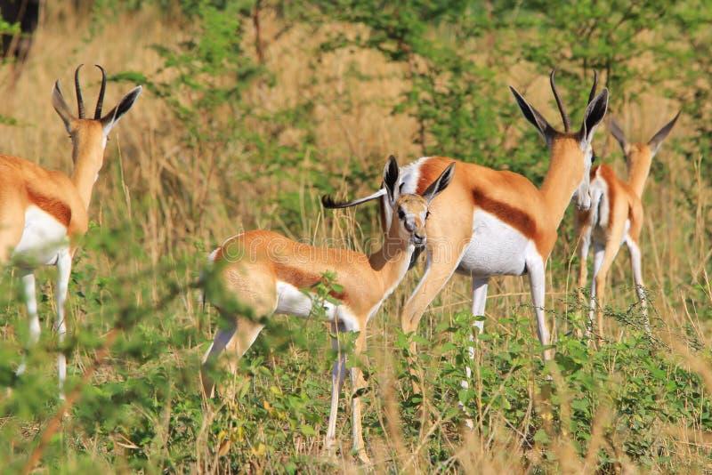 Springbok - fond africain de faune - agneau des oreilles photographie stock libre de droits