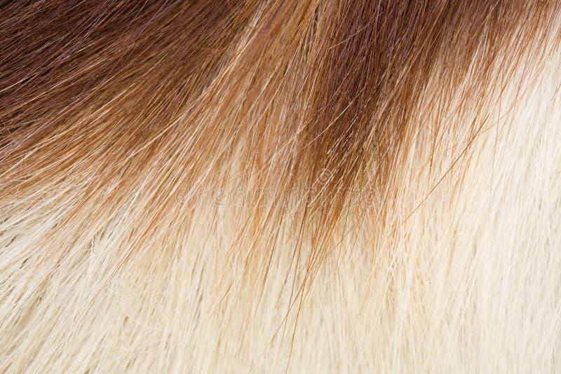 Springbok hair royalty free stock photo